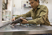 Sunda pangolin <br /> Manis javanica<br /> Thai Van Nguyen, Executive Director of Save Vietnam's Wildlife, examining three-month-old baby that was rescued and is in rehabilitation<br /> Carnivore and Pangolin Conservation Program, Cuc Phuong National Park, Vietnam<br /> *Captive - rescued from poachers<br /> *Model release available