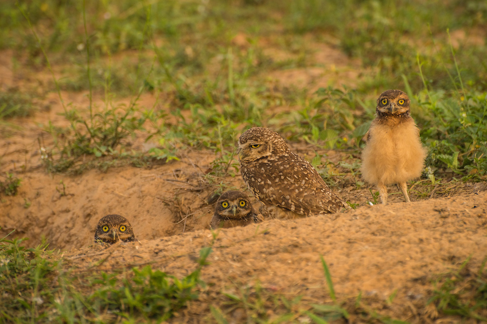 Three young borrowing owls come to have a look out of their nest at sunrise, Pantanal, Brazil.