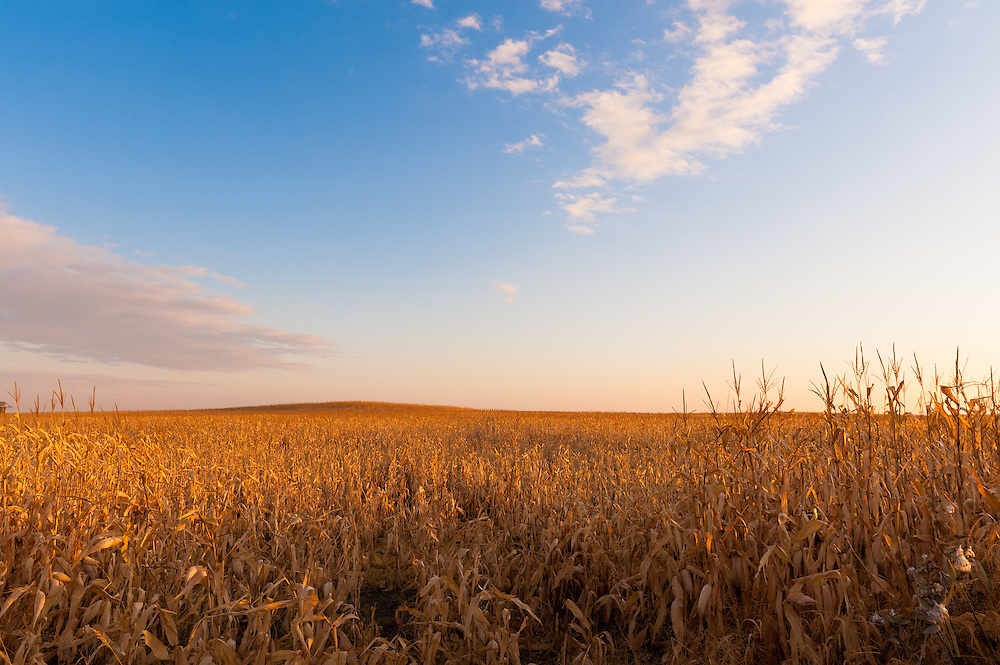 As the growing season ends, the corn is ready to be harvested in Southern Minnesota.
