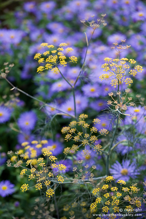 Foeniculum vulgare - fennel - in front of aster