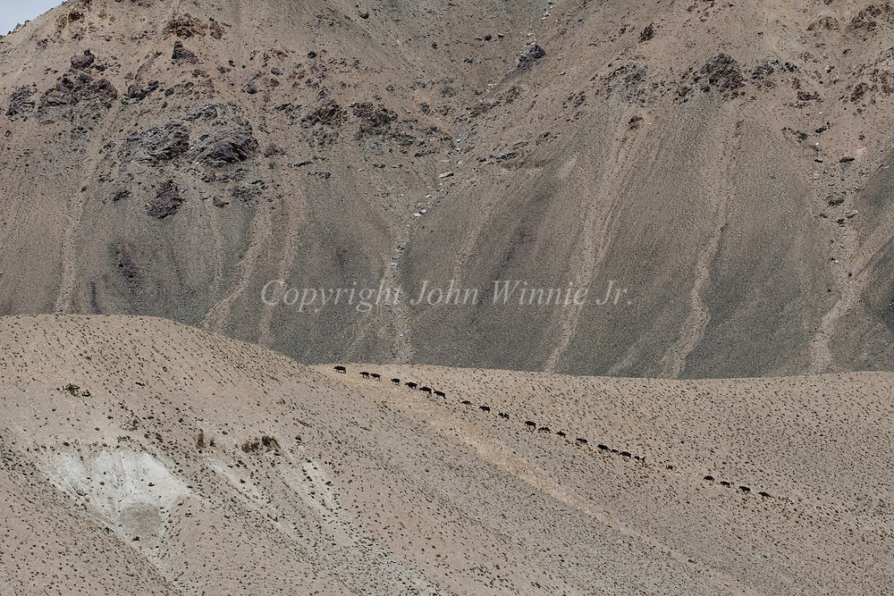 Domestic cattle on the trail. Big Pamir, Afghanistan.