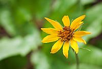 Closeup of Balsamroot flower.