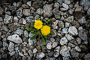 Dandelions bloom in the slag covering the brownfields next to West Aliquippa, Pa.<br /> <br /> Aliquippa is the former location of a one of the largest steel mills in the world, the Jones and Laughlin Aliquippa Works occupied a seven mile stretch along the Ohio River. <br /> <br /> The city now has fewer residents than the steel mill had employees (14,000) in its heyday. By 1989, most of the production facilities were closed before shuttering for good in the early nineties.