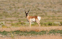 Northern Utah in the west desert area is small herds of Antelope that live among the sagebrush.