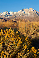 Rabbit bush glows in the warm light of sunrise, with the eastern Sierra towering behing, Bishop, CA