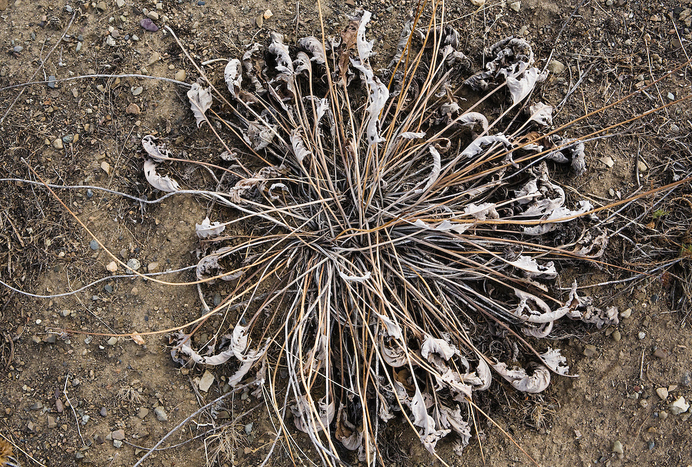 Closeup of a dead and dried out Balsamroot plant in Eastern Washington, USA.
