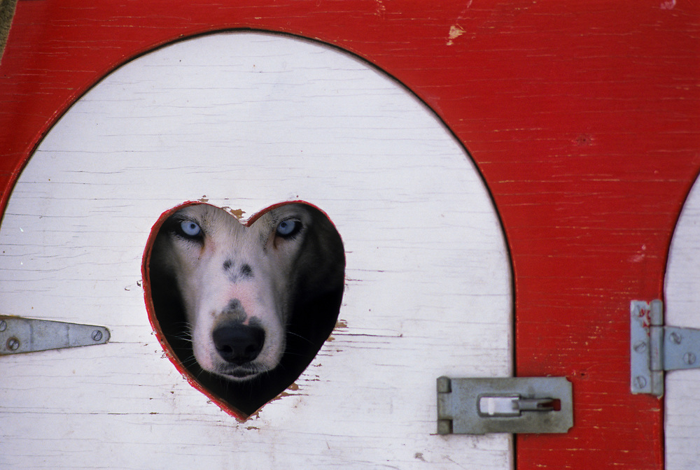 Alaska. Sled Dog peers from his lovely home in the Yukon Quest.