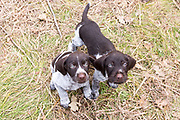 German Wire-haired pointer puppies in Wisconsin