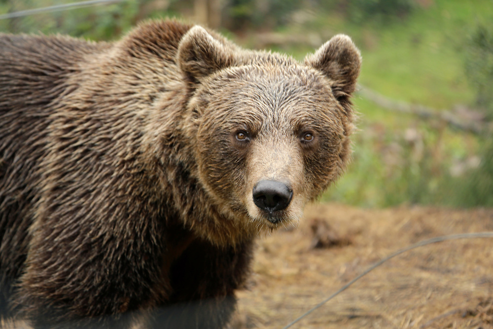 Bear at Bear Sanctuary, Kuterevo, Croatia.