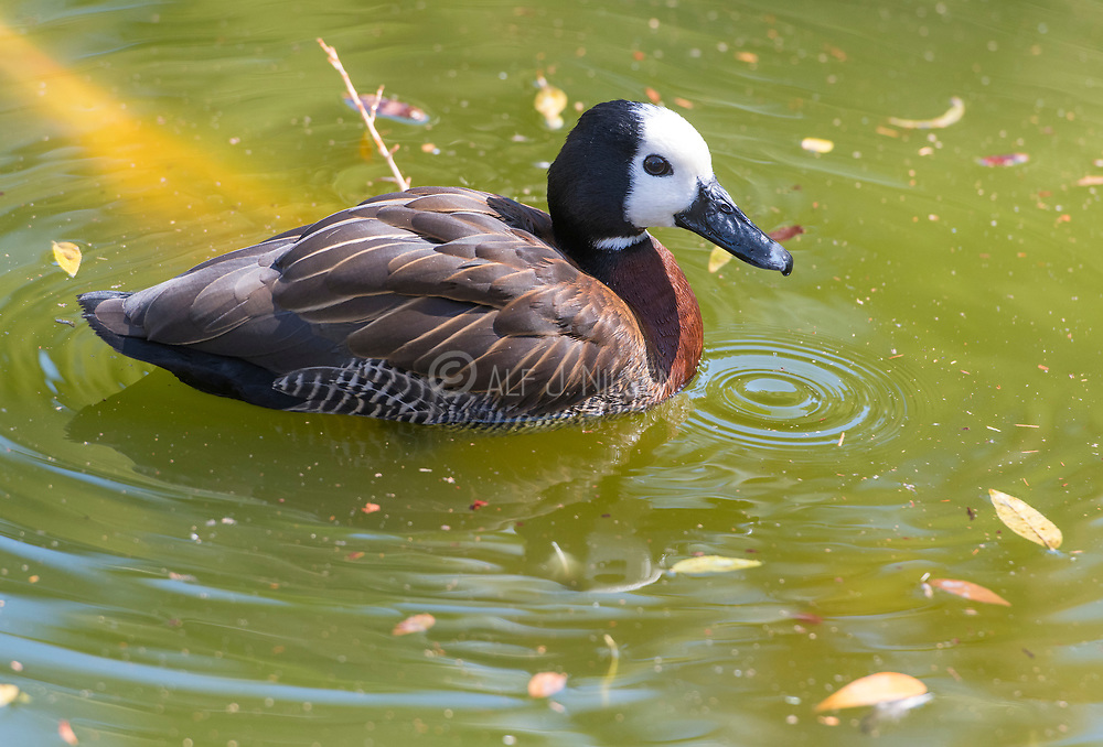 White-faced whistling duck (Dendrocygna viduata) from Wildlife World Zoo, Phoenix, Arizona, USA