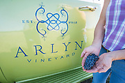Arilyn harvest Sept 27, 2017, Willamette Valley, Oregon