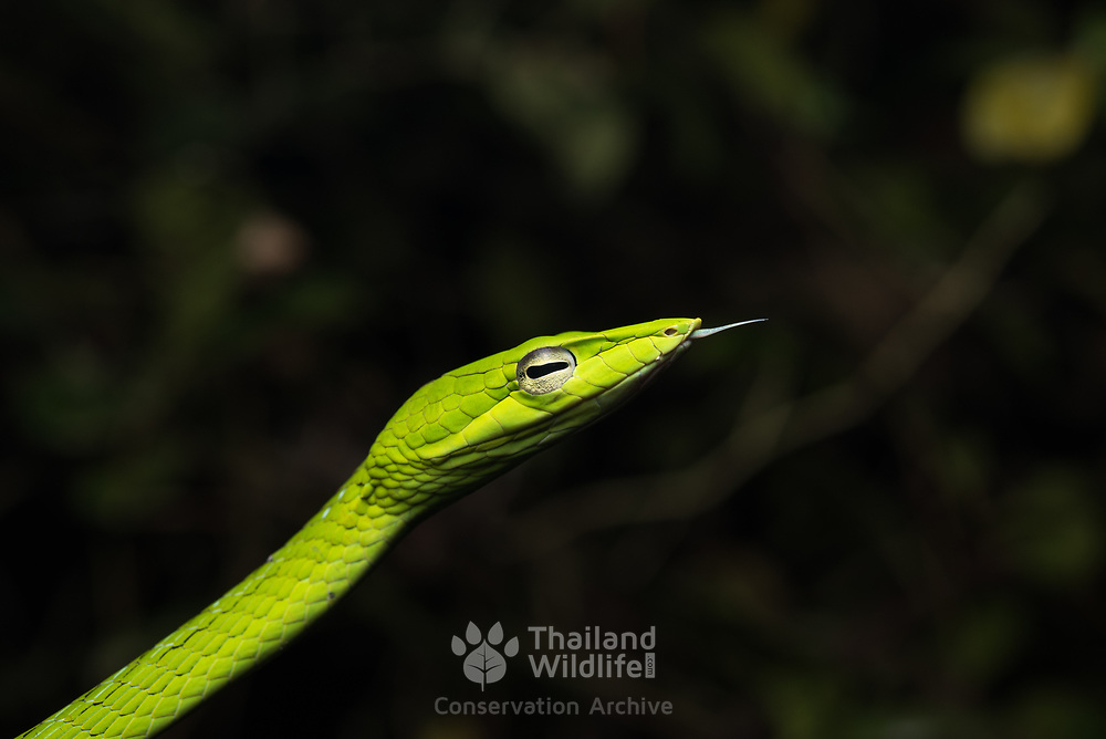 Oriental Vine Snake (Ahaetulla prasina) head close-up in Kaeng Krachan national park, Thailand