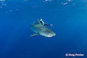 Stefanie Brendle photographs tiger shark, Galeocerdo cuvier, North Shore, Oahu, Hawaii, USA ( Central Pacific Ocean ) MR 389