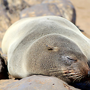 Seal at Cape Cross Reserve, Atlantic Ocean coast in Namibia.
