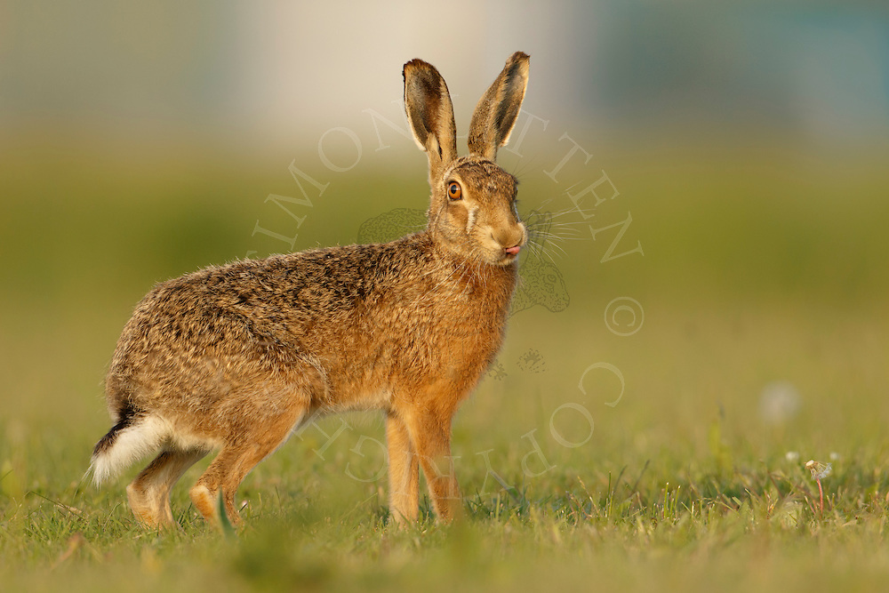 European Hare (Lepus europaeus) adult on grassland licking nose, Norfolk, UK.April