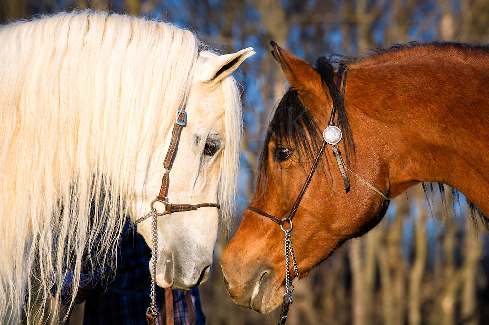 This pair of Arabians came face to face in side view during the process of shooting individual head shots and it made a nice image in the warm late afternoon sun. It may also reveal something about each of these animal's personalities. The white stallion is on the left and the bay mare on the right, and as you can see, she is backing him up a little from having a more assertive edgy character. This shot also shows the long flowing mane and forelock of the white horse which sort of makes him the Fabio of horses in appearance, but he is actually a very even and giving horse within being an intact stallion. This pair also has one female offspring living on that farm, the stunning Allegra that can be seen elsewhere in my work.