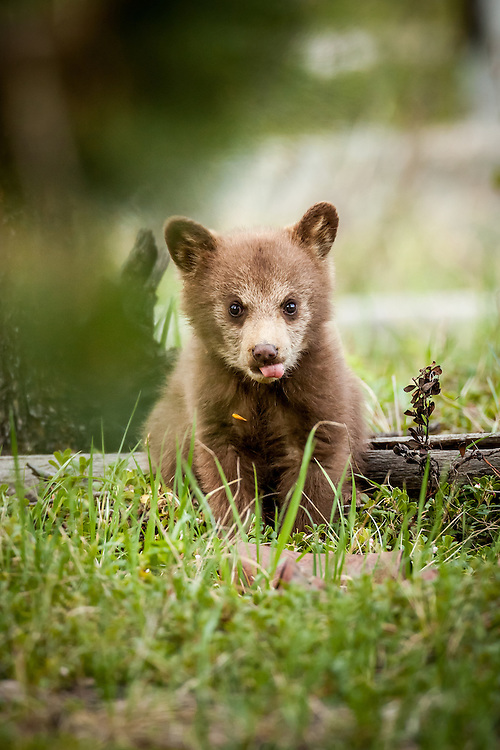 Black bear cub, colour phase, Jasper National Park, Alberta, Canada