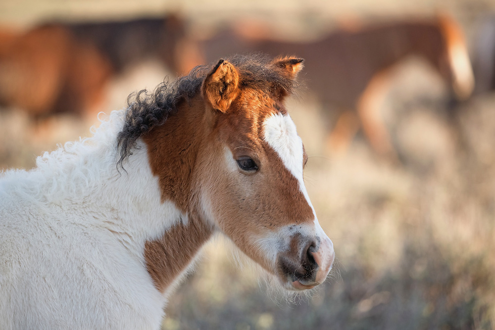 This curly-maned colt is the offspring of the stallion, TNT Dynamite and the mare, Medicine Girl. Born during late winter, he's now flourishing during the lazy days of spring.
