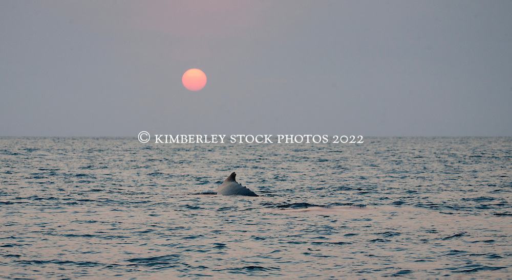 A humpback whale surfaces by moonlight in Camden Sound.  In 2007 there were bushfires for a large part of the dry season, resulting in spetacular sunsets and sunrises.  The smoke was pushed out to sea in the morning with the easterly winds and blown back toward land with the westerlies in the afternoon.  This photo was taken as the sun was setting on a smoky evening.