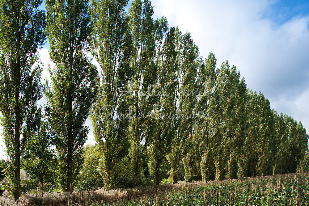 Line of Populus nigra 'Italica' (Lombardy poplar) near Ross-on-Wye, Gloucestershire, England