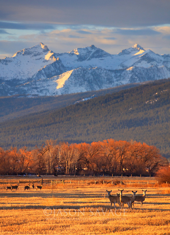 Whitetailed Deer and the Bitterroot Mountains, Montana.