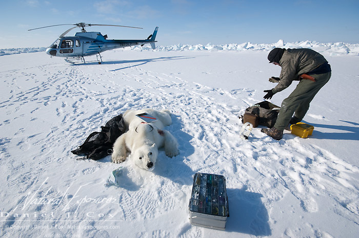 Geoff York a USGS biologist prepares a polar bear (Ursus maritimus) to start doing his research. Kaktovik, Alaska.