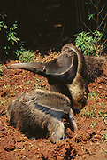Giant Anteater & Baby feeding on Termite mound<br />