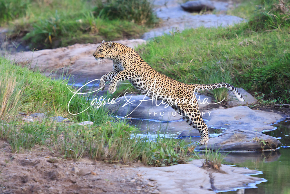 Kenya - Maasai Mara - Leopard - Panthera pardus - Fantastic chance I had when finding this leopard while crossing a river bed, leaping across the small streams of water running by the almost dry river. Light was fading then high ISO has been required to have some shutter speed to freeze the moment.