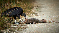 Black Vulture feeding on a road-killed mammal. Biolab Road, Merritt Island National Wildlife Refuge. Image taken with a Nikon D4 camera and 500 mm f/4 VR lens (ISO 450, 500 mm, f/8, 1/4000 sec).