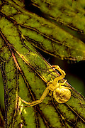 Goldenrod Crab Spider - (Misumena vatia) looking for prey on a leaf