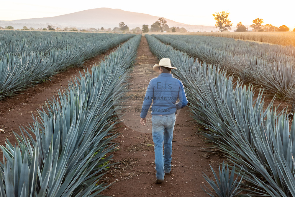 A field manager walks through a field of blue agave plants at a farm owned by the Casa Siete Leguas tequila distillery outside Atotonilco de Alto, Jalisco, Mexico. The Seven Leagues tequila distillery is one of the oldest family owned distilleries and produces handcrafted tequila using traditional methods.