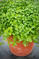 Greek cress in a terracotta pot