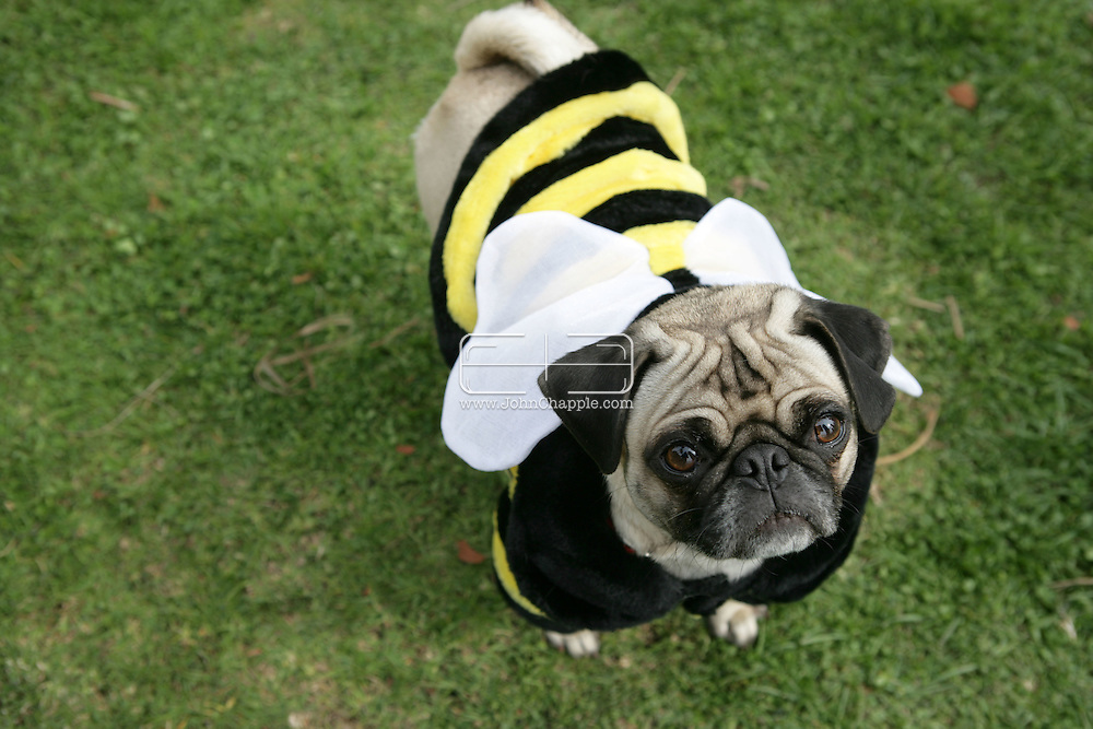 15th February 2009. Long Beach, California. Beauty may claim to be in the eye of the beholder, especially at the Haute Dog Beauty Contest. Bulldogs, pugs and French bulldogs competed in the annual Pageant to be crowned top-dog. Pictured is Lucy the Pug, dressed as a bumble bee..PHOTO © JOHN CHAPPLE / REBEL IMAGES..(001) 310 570 9100   john@chapple.biz   www.chapple.biz