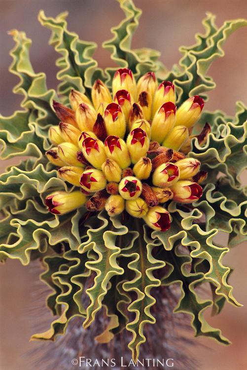 Pachypodium flower, Pachypodium namaquanum, Richtersveld National Park, South Africa