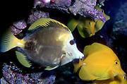 A hybrid between Yellow Tang (Zebrasoma flavescens) and Scopas Tang (Zebrasoma scopas).