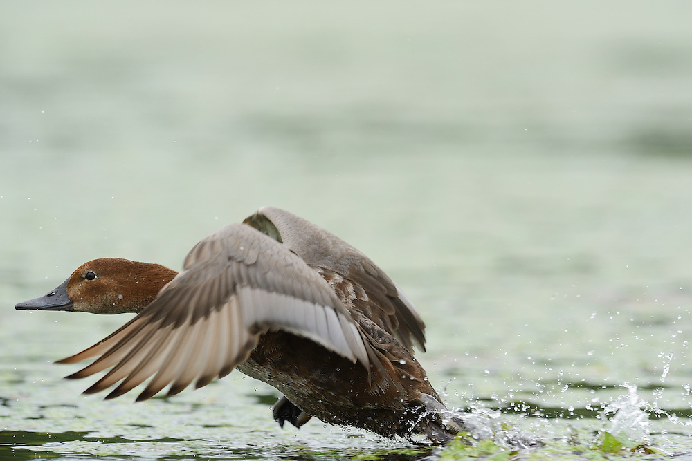Eurasian Pochard, Aythya ferina, Danube delta rewilding area, Romania