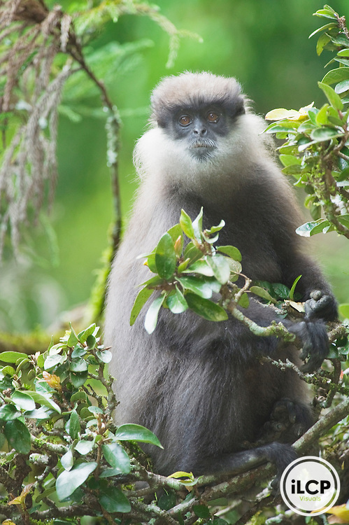 "Montane Purple-faced Langur or ""Bear Monkey, (Trachypithecus vetelus monticola), WILD, Highlands near Nuwara Eliya, Endemic to Sri Lanka, ENDANGERED (IUCN)"