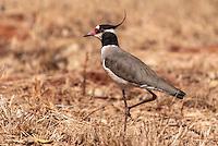Black-Headed Lapwing, Amboseli National Park, Kenya