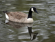 A goose swims in the lake during a community cleanup of Lake Afton to provide some relief for the algae-plagued and mucky man made lake Saturday, May 6, 2017 at Lake Afton in Yardley, Pennsylvania. (WILLIAM THOMAS CAIN / For The Philadelphia Inquirer)