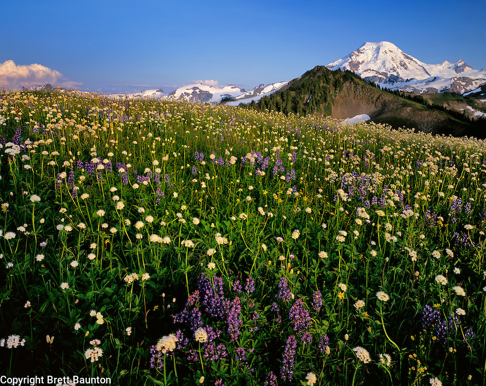 Mt. Baker, WA, USA..Mt. Baker Wilderness Area..10,778 ft / 3285 m..Skyline Divide Wildflowers..Lupine, Valerian and Arnica..North Face of Mt. Baker..4x5 Transparency.Brett Baunton.