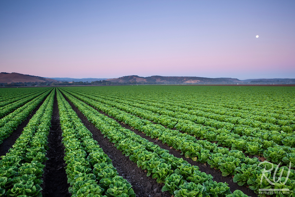 Agricultural Field of Lettuce Crops, Salinas, California