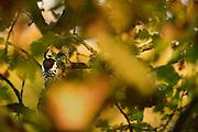 The middle spotted woodpecker (Leiopicus medius) is in the branches of old oak trees. The Biosphere Reserve 'Niedersächsische Elbtalaue' (Lower Saxonian Elbe Valley), Germany | Der Mittelspecht (Leiopicus medius) ist bevorzugt im Geäst alter Eichen unterwegs. Niedersächsische Elbtalaue, Deutschland