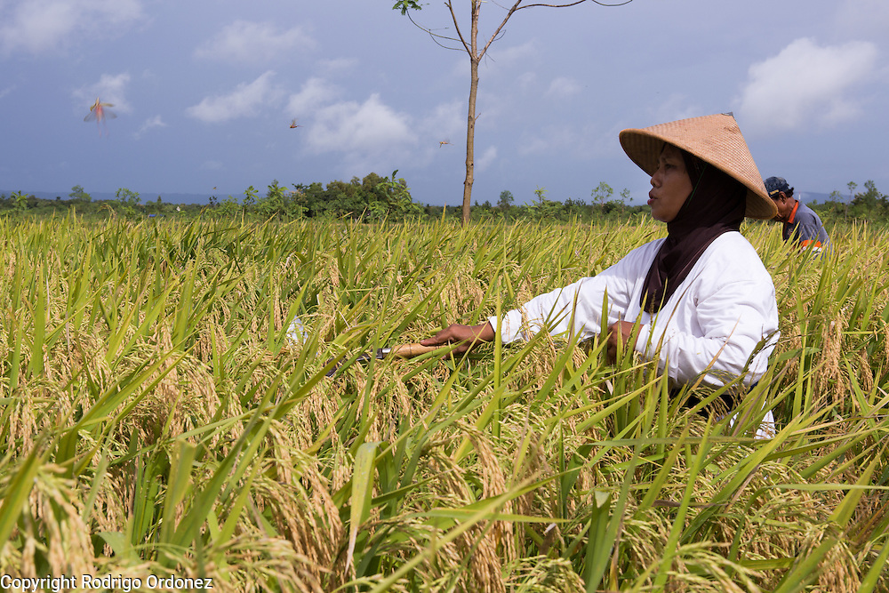 Suparjiyem, 49 (foreground), swats grasshoppers off a rice field in Wareng, Wonosari subdistrict, Gunung Kidul district, Yogyakarta Special Region, Indonesia. She and her fellow farmers are collectively harvesting each other's rice.