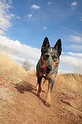 A Blue Heeler named Jazz hikes the Arizona Trail in the Santa Rita Mountains in the Coronado National Forest in the Sonoran Desert north of Sonoita, Arizona, USA.