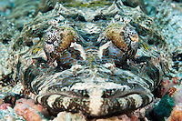 Crocodile Flathead.Shot in West Papua Province, Indonesia
