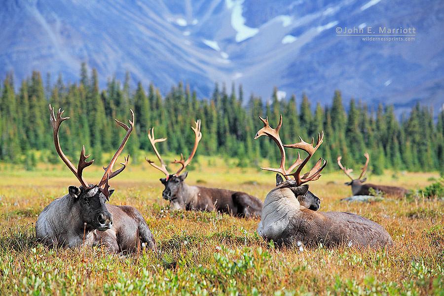 Woodland caribou bulls in the high alpine, British Columbia, Canada