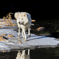 Two Arctic Wolves play around near an icy pond in a snowy forest hunting for prey.