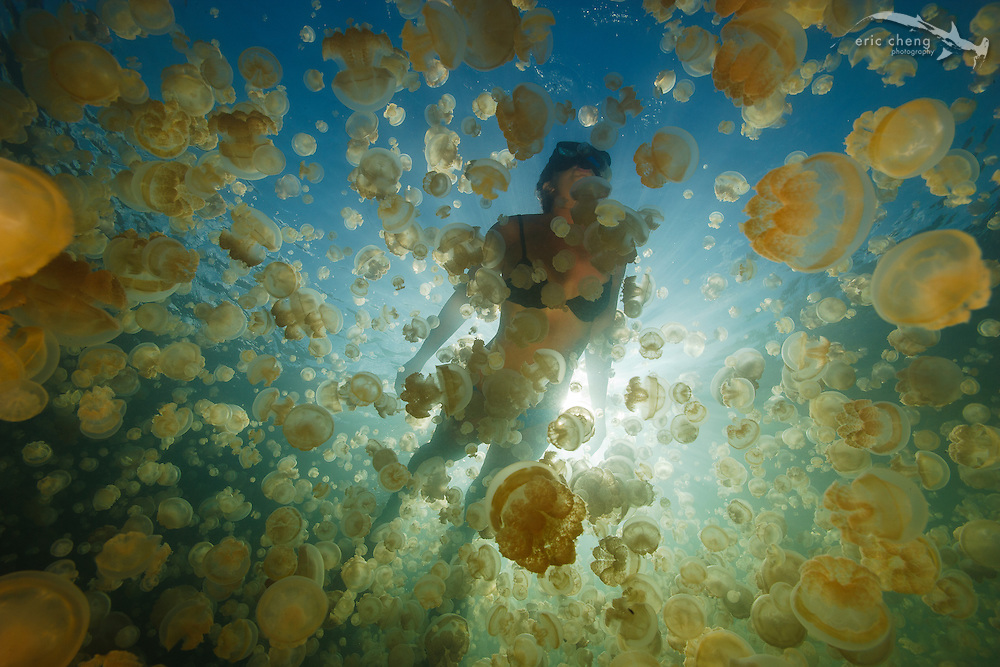 Millions of Mastigias sp. jellies follow the sun in Jellyfish Lake, Palau. With snorkeler.