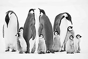 A group of adult Emperor penguins and chicks standing together.