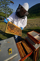Prize winning bee keeper Sanjin Zarkovic at his bee farm in Melnice,  Honey bees, Apis mellifera, Velebit Nature Park, Rewilding Europe rewilding area, Velebit  mountains, Croatia